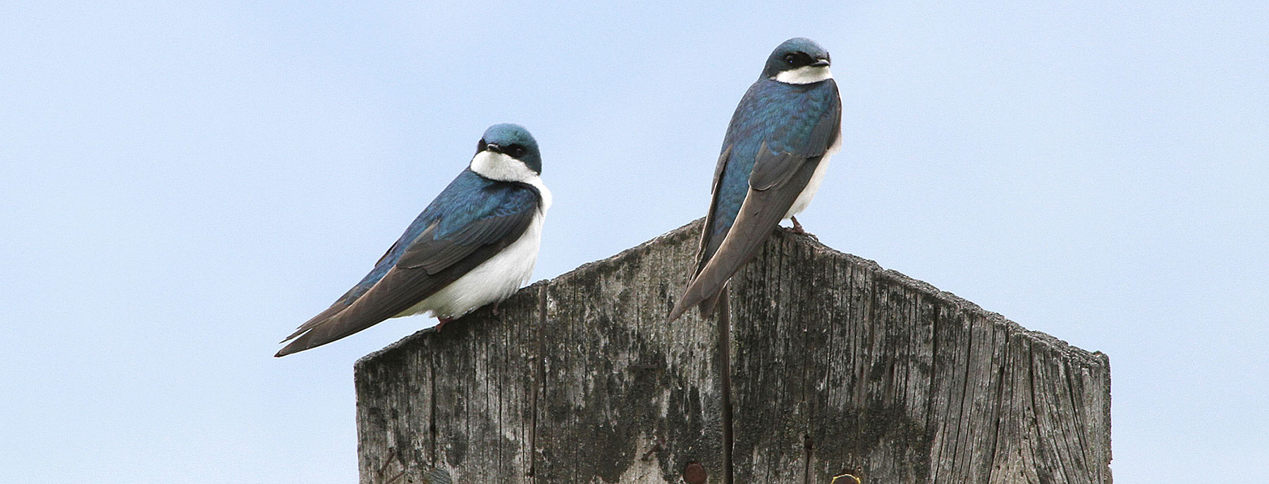 swallows and martins oregon department of fish wildlife