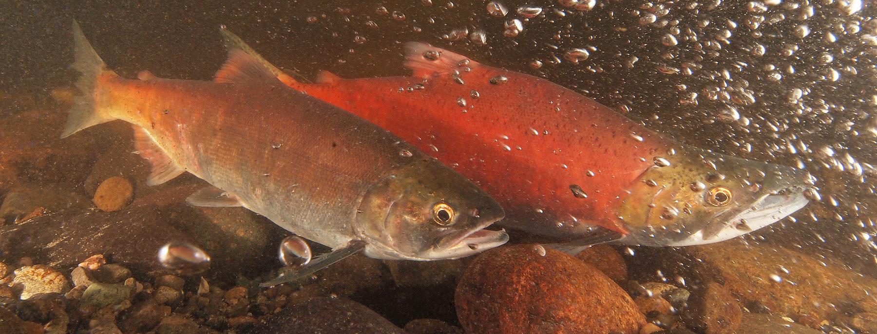 Kokanee salmon | Oregon Department of Fish & Wildlife