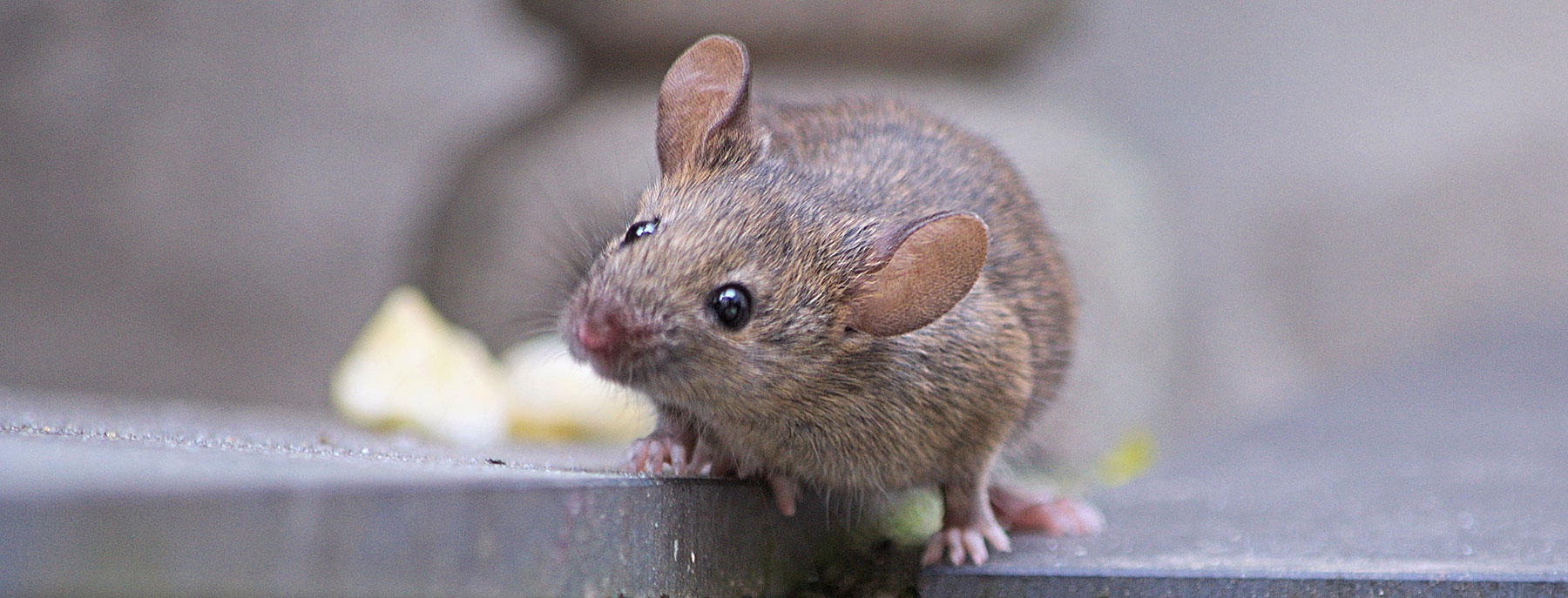 rats and mice oregon department of fish u0026 wildlife