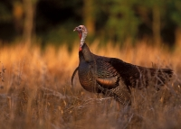 Hunting fall turkey