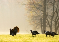 Tom turkey with hens_NWTF