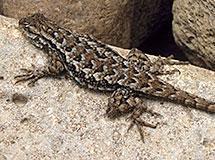 Lizards and Skinks   Oregon Department of Fish & Wildlife