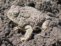 Frogs and Toads | Oregon Department of Fish & Wildlife