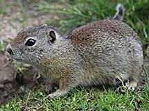 Squirrels, Chipmunks and Marmots | Oregon Department of Fish & Wildlife