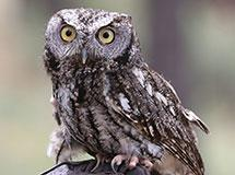 Owls | Oregon Department of Fish & Wildlife