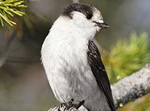 Crows, Jays and Magpies | Oregon Department of Fish & Wildlife