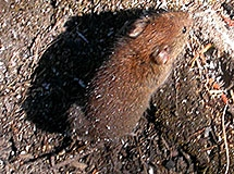 Rats and Mice | Oregon Department of Fish & Wildlife