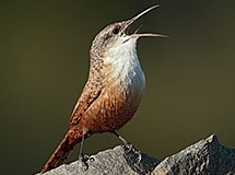 Wrens and Kinglets | Oregon Department of Fish & Wildlife