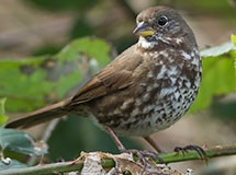 Towhees, Sparrows, and Buntings | Oregon Department of Fish