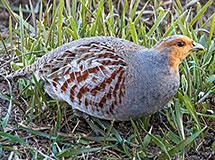 Pheasants, Grouse, Quail and Turkey | Oregon Department of