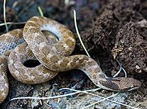 Snakes | Oregon Department of Fish & Wildlife