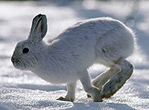 A snowshoe hare hopes across snowy ground