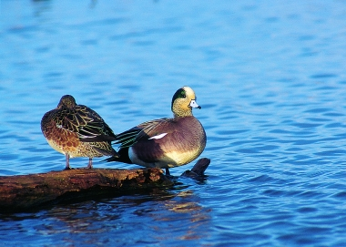 A pair of American Wigeon's standing on a log in the water