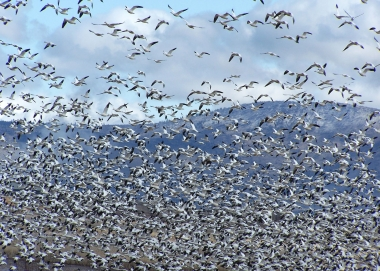 A flock of snow geese flying at Klamath Wildlife Area