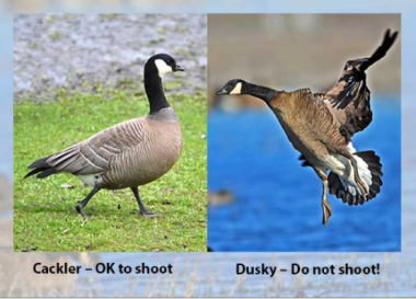 A cackler goose is ok to shoot. Do not shoot dusky Canada geese.