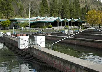 A photo of the raceways at Cole Rivers Hatchery.