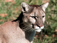 A photo of a cougar.
