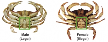 An image showing the different shape of the underside of a male vs a female Dungeness crab