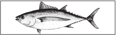 a drawing of an albacore tuna
