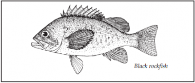 A drawing of a black rockfish