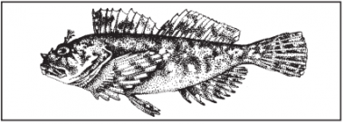 A drawing of a cabezon