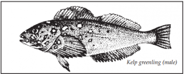 A drawing of a kelp greenling