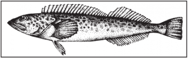 a drawing of a lingcod
