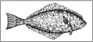 A drawing of a Pacific halibut