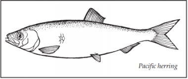 A drawing of a Pacific herring