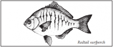 A drawing of a redtail surfperch