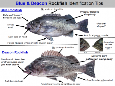 A diagram showing how to tell the differences between a blue and deacon rockfish