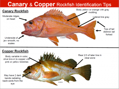 A diagram showing how to tell the differences between a canary and copper rockfish