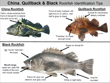 A diagram showing how to tell the differences between a China, quillback, and black rockfish