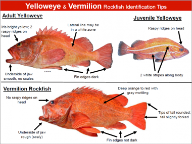 A diagram showing how to tell the differences between a yelloweye and vermilion rockfish