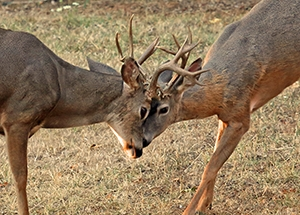 Image of two blacktailed deer bucks sparring