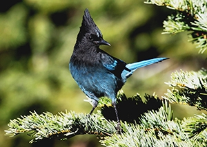 image of a Stellers jay