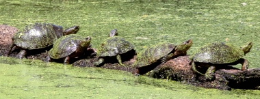 western pond turtles sunning themselves on a log