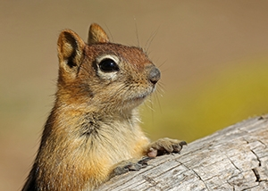 Image of a golden-mantled ground squirrel