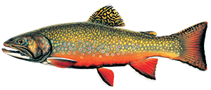 illustration of a male brook trout