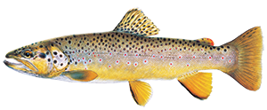 illustration of brown trout