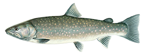 illustration of a bull trout