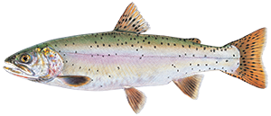 illustration of Lahontan cutthroat trout