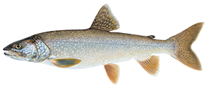 illustration of lake trout