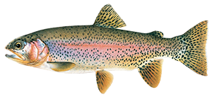 illustration of redband trout