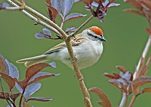 image of a sparrow perched in a backyard shrub