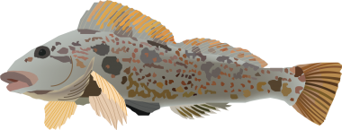 illustration of a greenling