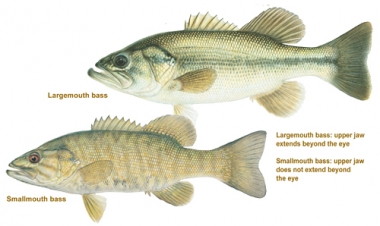 a drawn image of a smallmouth and largemouth bass