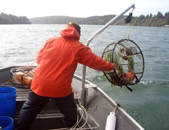 A man standing in a boat handles a crab pot being held by a hoist over the side of the boat.
