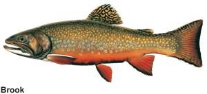 a drawn image of a brook trout