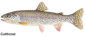 a drawn image of a cutthroat trout
